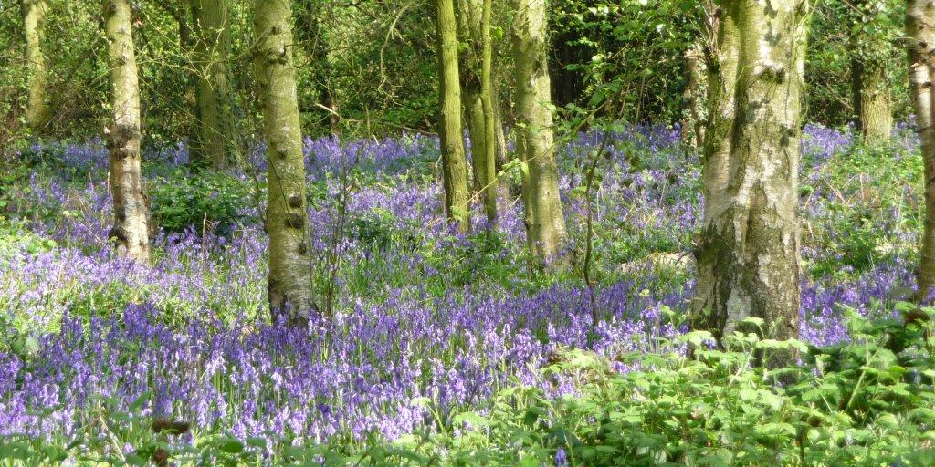 (6) Outwoods Bluebells