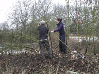 Team of Volunteers Hedge Laying