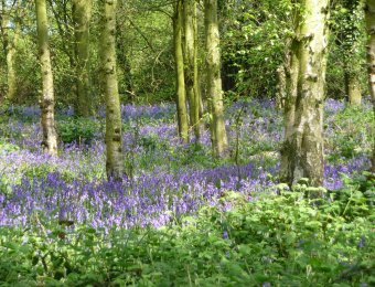 (6) Outwoods Bluebells