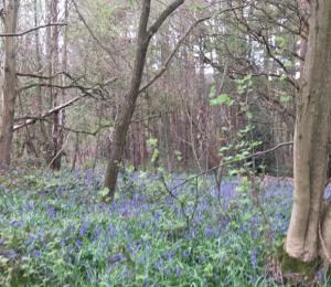 Outwoods bluebells